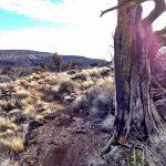 Horse Ridge Juniper Tree